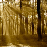 The sun's rays breaking through the trees in the pine forest in Royalty Free Stock Images