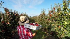 In the sun`s rays, female farmer in plaid shirt and hat walks between the rows of apple trees. she holds box with fresh
