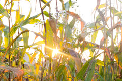 The sun's rays and field grass stock image