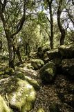 The sun`s rays filter through the branches of dense vegetation in the forest with moss-covered boulders stock photos