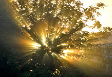 Sun's rays through the foliage Stock Photos