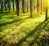 Sun's rays in the forest Stock Image