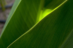 The sun's rays through the green leaf of a plant. The sun's rays make their way through the green leaves, creating a glow and a gold pattern on its surface Royalty Free Stock Image
