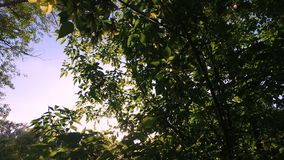 The sun's rays make their way through the branches and leaves of American maple. Summer sunny evening. Windless weather. Natural landscape stock video