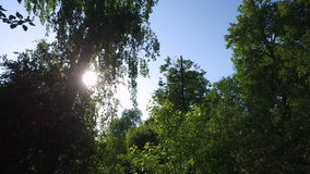 The sun's rays make their way through the branches and leaves of birch. stock footage
