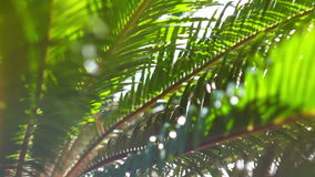 The sun's rays make their way through the branches of palm trees. Sky, clouds, b. The branches of a palm tree swaying in the wind stock footage