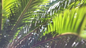 The sun's rays make their way through the branches of palm trees. Sky, clouds, b. The branches of a palm tree swaying in the wind stock video footage