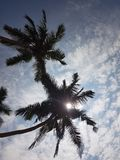 The sun is hiding in the palm branches royalty free stock photo