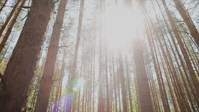 The sun`s rays make their way through the trunks of fir trees in the forest.  stock video footage