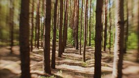 The sun`s rays make their way through the trunks of fir trees in the forest.  stock footage