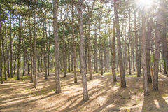 Sun`s rays make their way through the trunks of trees in a pine forest. Huge trees in a pine forest. Sunlight makes its way through the trees Royalty Free Stock Image