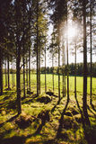 Sun`s rays make their way through the trunks of trees in a pine forest. In sweden royalty free stock photos