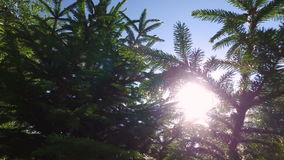 The sun's rays make their way through the young branches of spruce. Summer solar wind. Windless weather stock video footage