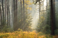 The sun's rays in a misty spruce forest Stock Photo