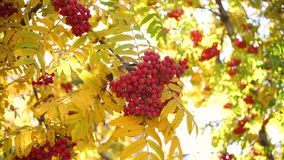 The sun`s rays pass through the autumn leaves of the tree. Rowan berries stock video footage