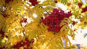 The sun`s rays pass through the autumn leaves of the tree. Rowan berries stock video