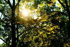 Sun's rays penetrate through the leaves and branches of the Royalty Free Stock Image