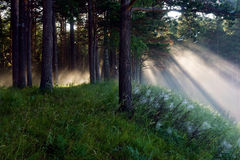 The sun's rays in a pine forest Stock Photography
