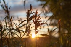 The sun`s rays through the reeds. Sunset Royalty Free Stock Photography