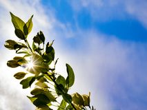The sun`s rays shine through a branch of an apple tree against a blue sky. stock photography