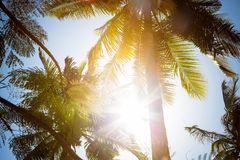 The sun rays shine directly into the camera through the green leaves and branches of tall tropical palm trees. Against the royalty free stock image