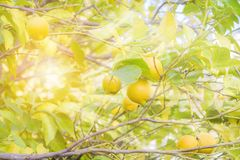 The sun`s rays shine through a tree branch in the garden with ripe lemons and green leaves. Blurred Background stock photo