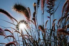 The sun`s rays shining through the dry reed grass. Stock Image