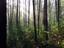 The sun's rays shining through fog in a pine forest Stock Photography