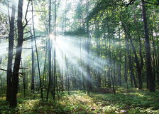 Sun's rays shining through the trees. In the forest Royalty Free Stock Images