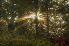 Sun's rays shining through the trees in the foggy forest.  Stock Images