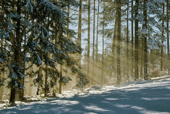 The sun's rays in a snowy forest Stock Photos