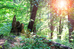 The sun's rays in a summer wood thicket Royalty Free Stock Photography