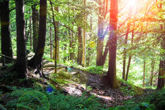 The sun's rays in a summer wood thicket Stock Images