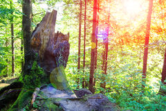 The sun's rays in a summer wood Royalty Free Stock Photography
