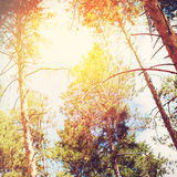 Sun's Rays on Tops of Coniferous Trees in old Forest Stock Image