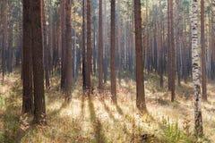 Sun& x27; s stralenpas door de herfst gemengde vergankelijk-coniferou Stock Fotografie