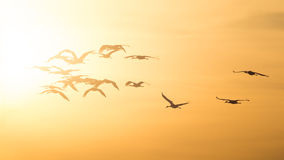 Sandhill Cranes Flying Into the Sunset. The Sandhill Cranes return to the Platte in late evening as end of their stay in Nebraska draws near stock photos