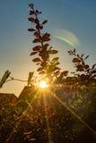 Sun scheint bei dem Sonnenuntergang durch eine Hecke Lizenzfreies Stockfoto