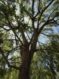 Sun scheint durch die Überdachung des mittelgroßen Baums Stockbild