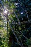 Sun scheint durch die Baumaste, die das Moos auf den Erlenbäumen auf der Brookes-Halbinsel beleuchten Stockfotos