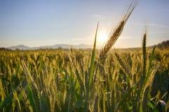 Sun se lève au-dessus des champs de blé dans la forêt photographie stock