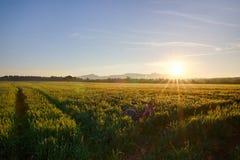 Sun se lève au-dessus des champs de blé dans la forêt photos stock