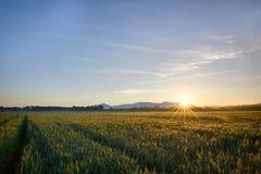 Sun se lève au-dessus les des champs de blé dans la forêt images libres de droits