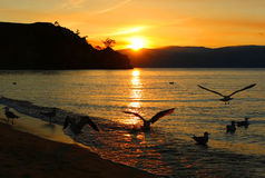 Sun seagulls. Sea seagulls on the water orange sunset Royalty Free Stock Image