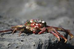 Sun secou o caranguejo Imagens de Stock Royalty Free