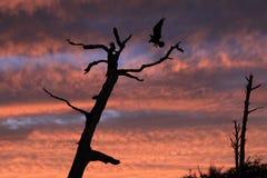 The Sun Set as an Osprey Lands on a Dead Tree Royalty Free Stock Photos