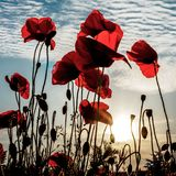Lest We Forget. The sun sets behind a field of poppies. `Lest we forget stock images