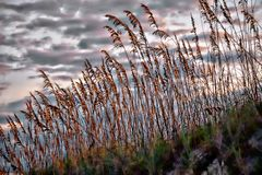 Sea oats act to guard against beach erosion while shedding a golden hue when the sun sets behind them royalty free stock photos