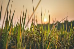 Sun setting behind grass and wheat farm stock images