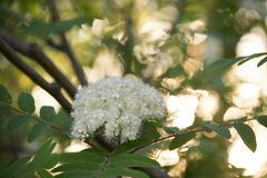 Fluffy white flowers in the sunshine stock photo